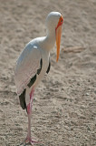 African Yellow-billed Stork