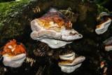 Ganoderma Resinaceum (Lacquered Bracket)