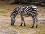 Zebra - Wild Animal Kingdom