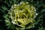 White Flowering Cabbage
