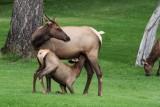 Elk - Nursing