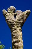 Saguaro Fan