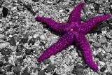 Purple Star Fish