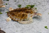 Sea Turtle - Atlantis Hotel