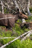 Moose - we came around a corner and this was about 100 feet from us.
