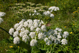 Giant Hogweed Heracleum mantegazzianum