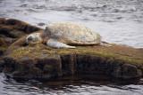 Green Sea Turtle Basking