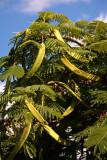 Royal Poinciana Seed Pods