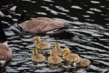 Geese & Goslings