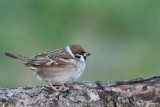 Pilfink / Tree Sparrow