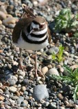 Mrs. Killdeer