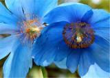 37 blue tibetan poppies