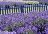 24 purple fence, purple lavender