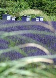 16 beehives and lavender