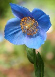 15 single blue poppy