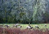 Hoh elk herd 2