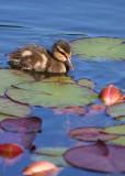 Lilypond ducky