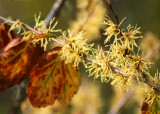 45 witch hazel