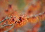 29 a flower in winter - witchhazel