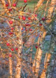 33 berries before sunset at titlow pond