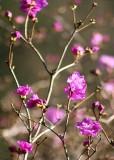 23 purple rhodies