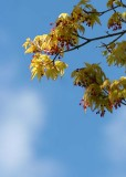 43 first maple leaves, flowers