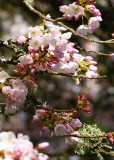 46 cherry blossom, lichen