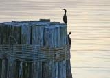 11 twilight cormorants
