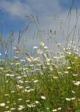 27 summer daisies
