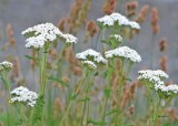 25 yarrow and grass seed heads