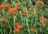 14 indian paintbrush and grass