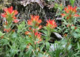 13 indian paintbrush