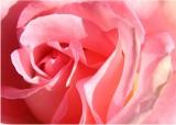 02 pink rose