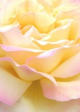 13 soft peach rose