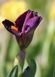 14 iris