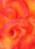 15 fiery rose