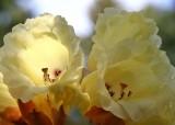 18 r.macabeanum