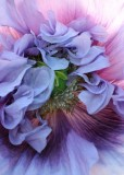 25 pinkish purple poppy