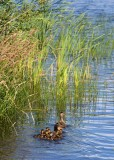 Duckling family