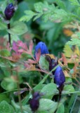 37 gentian buds 2