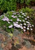 33 alpine flowers
