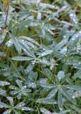 31 rain on lupine leaves