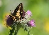 27 swallowtail on thistle