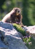 26 marmot lookout
