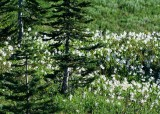 23 avalanche lilies