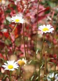 76 daisies and fireweed