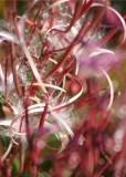 77 fireweed seed