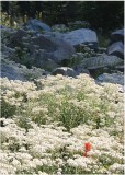 80 indian paintbrush in a sea of pearly
