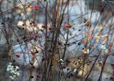 9 snowberries and rosehips