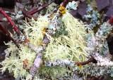 32 lichens